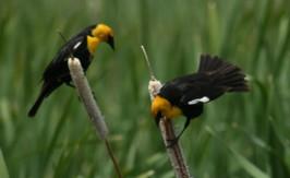 blackbirds - taken by Michael Tomberlin