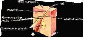 Acne - Sebaceous Gland